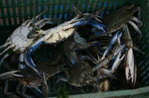 ΕΙΚΟΝΑ 9 Αλιευμένα άτομα Callinectes sapidus προς πώληση σε λαική αγορά της Θεσσαλονίκης