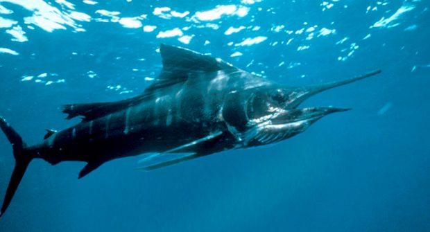 ΦΕΚ: Όροι και προϋποθέσεις άσκησης αλιείας των άκρως μεταναστευτικών ειδών, τόνου, μακρύπτερου τόνου και ξιφία , όσον αφορά τη χορήγηση αδειών αλίευσης τόνου