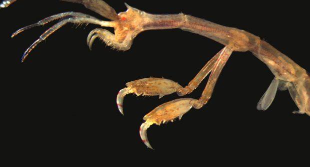 Αμφίποδα Caprellidae: Επικίνδυνοι εισβολείς ή ένας νέος πιθανός θαλάσσιος πόρος;